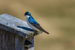 Swallow couple setting up residence in a birdhouse on a early spring day. stock photo