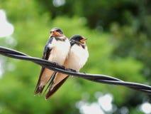 Swallow couple. A swallow couple is sitting on pylon Stock Photos