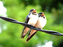 Swallow couple. A swallow couple is sitting on pylon Royalty Free Stock Photos