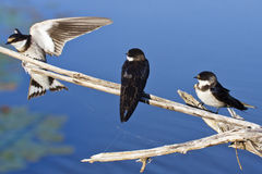 Swallow dalla gola bianca Immagini Stock