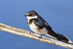 Swallow dalla gola bianca Fotografia Stock Libera da Diritti