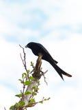 Swallow del cacciatore Immagine Stock Libera da Diritti