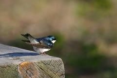 Swallow di albero Fotografia Stock Libera da Diritti