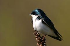 Swallow di albero Immagine Stock