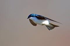 Swallow di albero immagine stock libera da diritti
