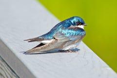 Swallow di albero fotografie stock