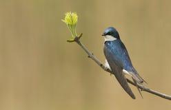 Swallow di albero maschio Fotografia Stock