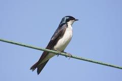 Swallow di albero su un collegare Immagini Stock Libere da Diritti