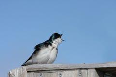 Swallow di albero (Tachycineta bicolore) Fotografia Stock