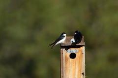Swallow di albero, Tachycineta bicolore Fotografia Stock
