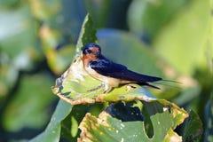 Swallow di granaio Immagini Stock