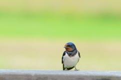 Swallow di granaio Fotografia Stock Libera da Diritti
