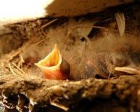 Swallow di granaio che attende per essere Fed Immagine Stock Libera da Diritti