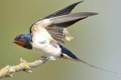 Swallow di granaio (rustica del Hirundo) Fotografia Stock Libera da Diritti