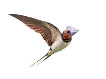 Swallow di granaio (rustica del Hirundo) fotografia stock