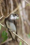 swallow di riparia Fotografia Stock