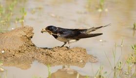 swallow di rustica del hirundo Immagini Stock