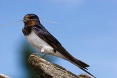 swallow di rustica del hirundo Fotografia Stock