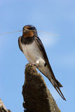 swallow di rustica del hirundo Fotografie Stock