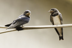 Swallow Royalty Free Stock Image