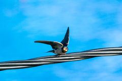 Swallow on the electricity line is getting ready to fly Royalty Free Stock Images
