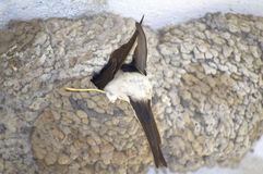 Swallow entering nest. Swallow entering into a nest Stock Image