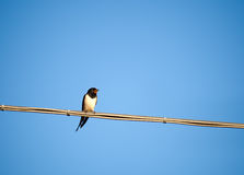 Swallow - European summer visitor bird - Hirundo r Stock Photography