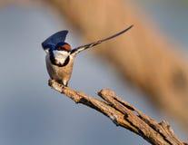 Swallow europeo Fotografie Stock Libere da Diritti