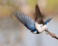 Swallow europeo Immagine Stock