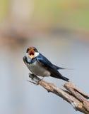 Swallow europeo Fotografie Stock