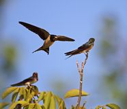 Swallow family learning lessons Royalty Free Stock Images