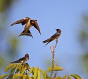 Swallow family learning lessons royalty free stock image