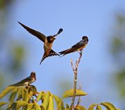 Swallow family learning lessons Stock Photos