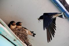 The swallow family. Swallow mother in feeding the little swallow Royalty Free Stock Images