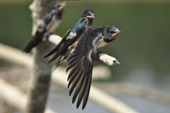 Swallow family Royalty Free Stock Photos