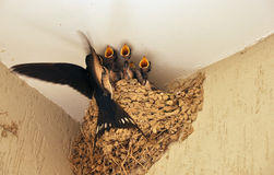 Swallow feeding babies in nest. Swallow feeding small baby birds in their nest Royalty Free Stock Photography