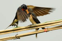Swallow Feeding Baby. Swallow feeding his baby on the wire Stock Photography