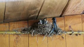 swallow feeding chicks stock video