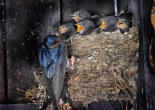 Swallow feeding chicks. In the nest Royalty Free Stock Images