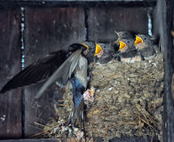 Swallow feeding chicks. In the nest Royalty Free Stock Photography