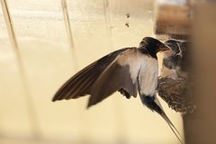 Swallow on the nest. Swallow is feeding her youngs on nest inside stable Royalty Free Stock Photography