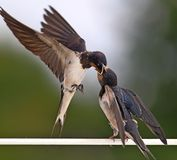Swallow feeding a young bird. Beautiful eyes of a bird, beautiful feathers, feeding a young bird, long beak, wings spread, precision of feeding, gentleness of Stock Photos