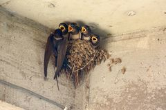 Swallow feeding young chicks Royalty Free Stock Photos