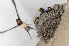 The swallow feeds the baby birds Royalty Free Stock Photo