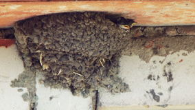 A swallow feeds its chicks in the nest. Black Swallow flew to the nest, which is located in the brick wall of the building and feeds the two chicks that open stock video