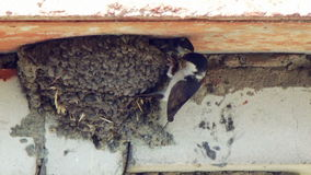 A swallow feeds its chicks in the nest stock video footage