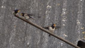 Swallow feeds young chicks from its beak stock video footage