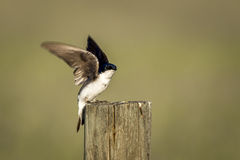 Swallow flaps its wings. Stock Images