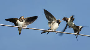 Swallow flew in to feed their Chicks sitting on the wires Stock Images