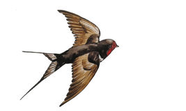 swallow  flies Stock Image